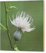 White Thistle Flower Wood Print