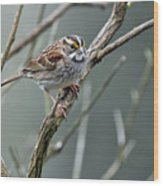 White Throated A Sparrow Wood Print