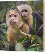 White-throated Capuchin Monkeys Cebus Wood Print