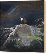 White-throated Dipper Nr 1 Wood Print
