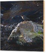 White-throated Dipper Nr 2 Wood Print