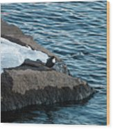 White-throated Dipper Nr 3 Wood Print