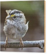 White Throated Sparrow Portrait Wood Print