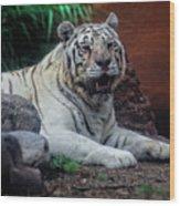 White Tiger Gladys Porter Zoo Texas Wood Print
