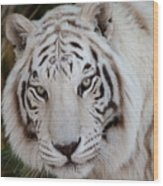 White Tiger Portrait Wood Print