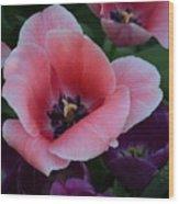 White Tip Pink Tulip Wood Print