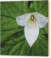 white trillium along Laurel Creek Road Wood Print