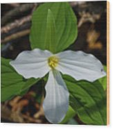 White Trillium 2 Wood Print