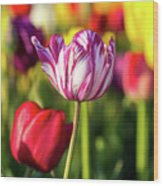 White Tulip Flower With Pink Stripes Wood Print