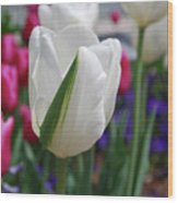 White Tulip With A Green Stripe In A Garden Wood Print