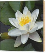 White Water Lily And Bud Wood Print