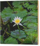 White Water Lily Wood Print