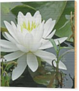 White Water Lily Wildflower - Nymphaeaceae Wood Print