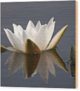 White Waterlily 2 Wood Print