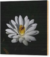 White Waterlily Wood Print by April Wietrecki Green