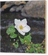 White Wild Rose In Big Thompson Canyon Wood Print