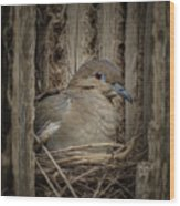 White-winged Dove - Nesting Wood Print
