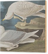 White-winged Silvery Gull Wood Print