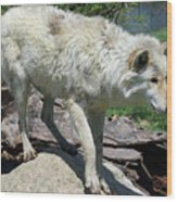 White Wolf 1 Wood Print