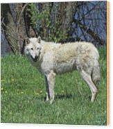 White Wolf 2 Wood Print