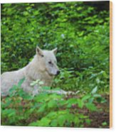 White Wolfe Wood Print