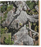 Whitebark Pine Tree - Iconic Endangered Keystone Species Wood Print by Christine Till