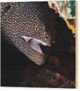 Whitemouth Moray Eel Wood Print