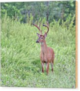 Whitetail Deer 4 Wood Print