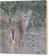 Whitetail Deer II Wood Print
