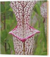 Whitetop Pitcherplant Wood Print