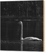 Whooper Swan In Bw 2 Wood Print