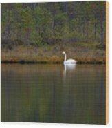 Whooper Swan  Wood Print