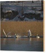 Whooper Swan Nr 12  Wood Print