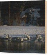 Whooper Swan Nr 13 Wood Print