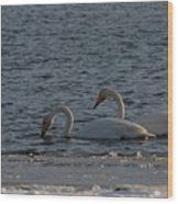 Whooper Swan Nr 2 Wood Print