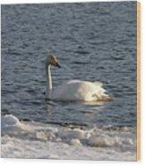 Whooper Swan Nr 3 Wood Print