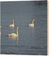 Whooper Swan Nr 8 Wood Print