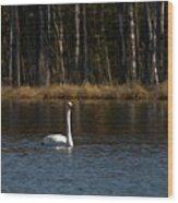 Whooper Swan Of Liesilampi 3 Wood Print