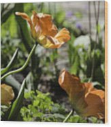 Wide Open Tulips Wood Print