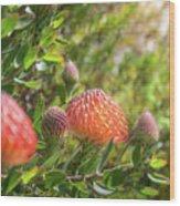 Wild Beautiful Telopea Flower In Sunset Light  Wood Print
