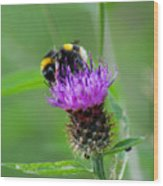 Wild Busy Worker Bumble Bee On A Thistle Flower Wood Print