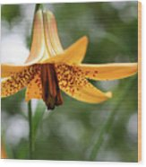 Wild Canadian Lily Wood Print