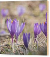 Wild Crocus Balkan Endemic Wood Print