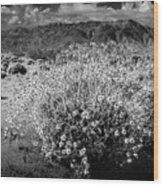 Wild Desert Flowers Blooming In Black And White In The Anza-borrego Desert State Park Wood Print