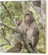 Wild Florida Monkies One Wood Print