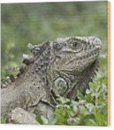 Wild Green Iguana Iguana Iguana At Los Wood Print