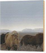 Wild Icelandic Toelter Horses Wood Print