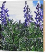 Wild Lupines Wood Print