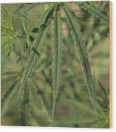 Wild Marijuana Leaves Near Burwell, Ne Wood Print