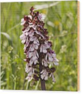 Wild Orchid In Meadow  Wood Print